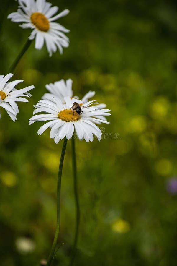 Makro- kwitnąć pięknej białej stokrotki kwitnie z pszczołą zdjęcie royalty free