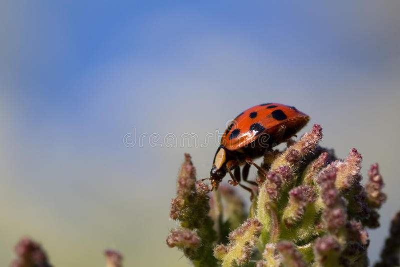 Makro- ladybird obrazy stock