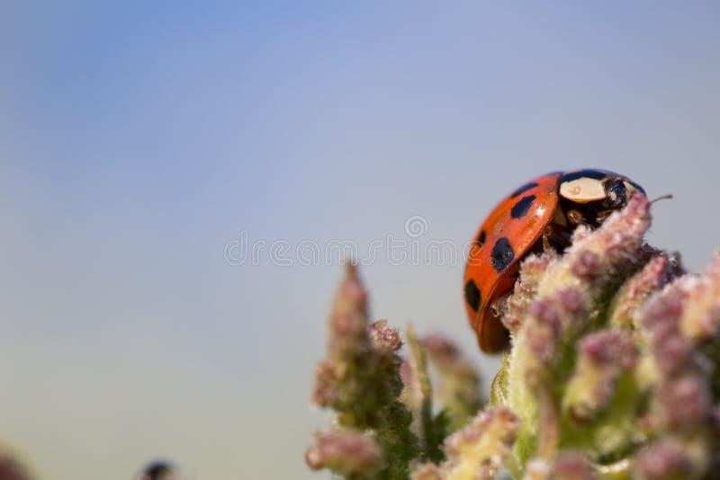Makro- ladybird zdjęcie stock
