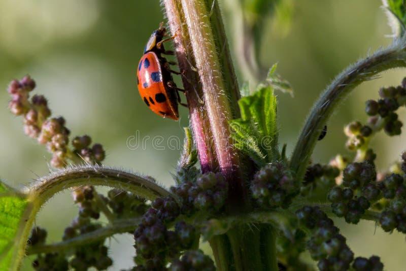 Makro- ladybird zdjęcie royalty free