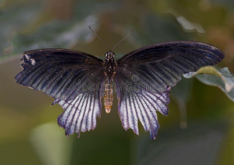 Makro männlicher großer mormonischer Schmetterling stockfoto