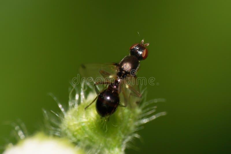 Makro- mała czarna Kaukaska komarnica z kowadłem na puszystym b fotografia royalty free
