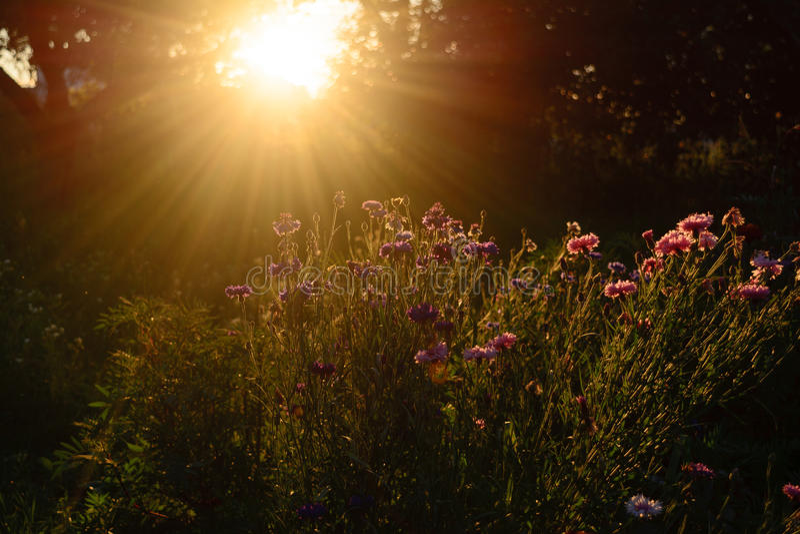Makro med en dekorativ lös fältblomma på mörk himmelbakgrund med solnedgång royaltyfria bilder