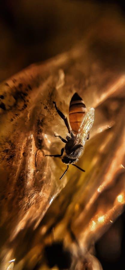 Makro- miodowa pszczo?a obraz royalty free