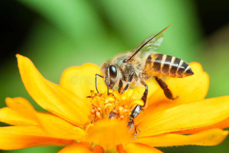 Makro- miodowy pszczoły łasowania nektar fotografia royalty free