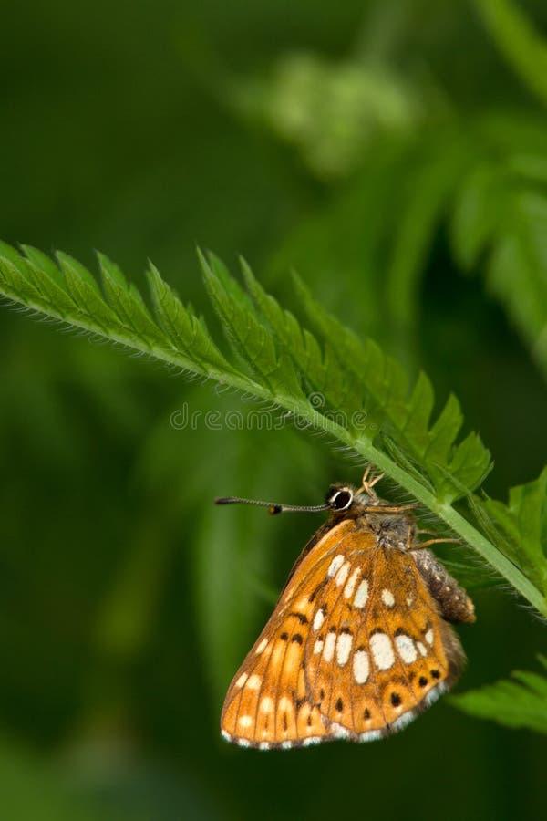 Makro- motyl: Hamearis lucina zdjęcia royalty free
