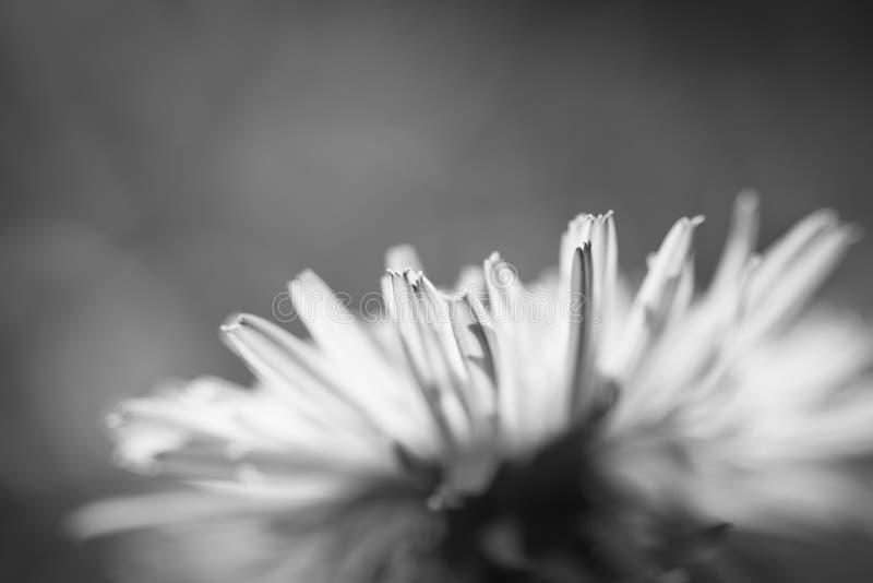 Makro nah oben von den Löwenzahnkopfblumenblättern im Sonnenlicht lokalisiert, Schwarzweiss stockbilder