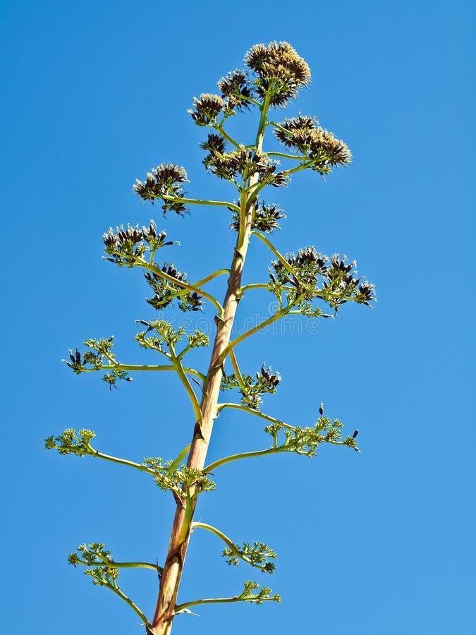 Makro- ogromny agawa kaktus fotografia royalty free