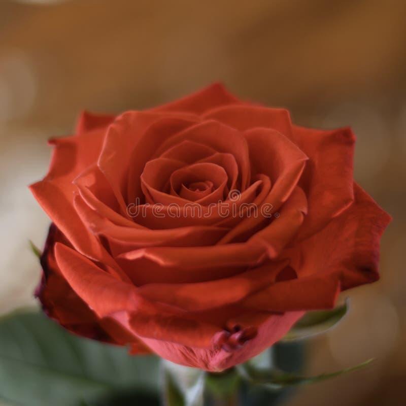 Makro orange bunte Rosenblume der schönen hellen Nahaufnahme lizenzfreie stockfotografie