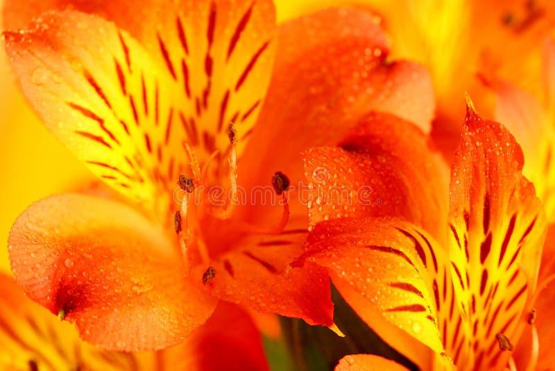 Makro orange und gelbe Lilie der Inkas (Alstroemeria) Abschluss oben stockfoto