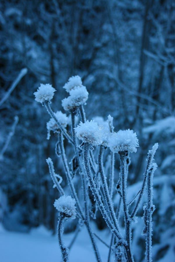 Makro- oszroniejący kwiaty w zima dniach fotografia stock