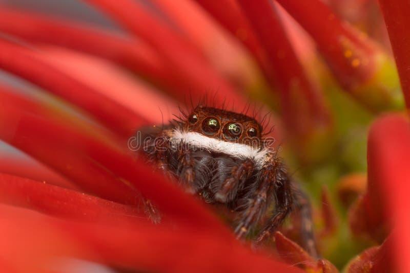 Makro- pająków pająków Święty Mikołaj Skokowy insekt fotografia royalty free
