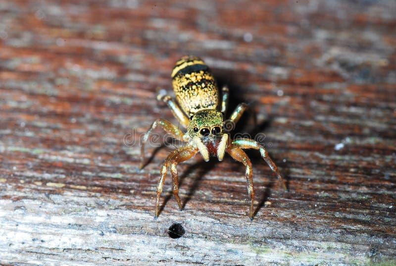 makro- pająk zdjęcie royalty free
