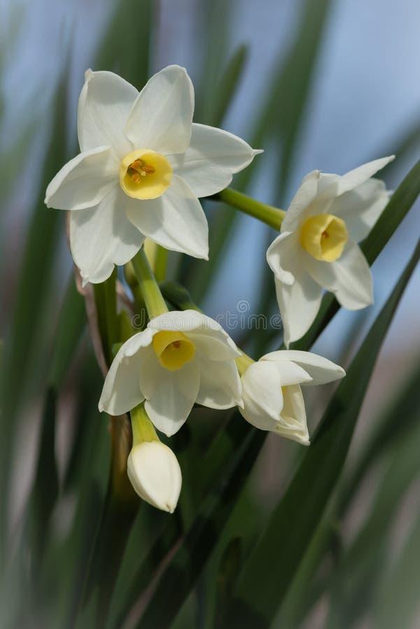 Makro- Paperwhites kwitnienie w Styczniu zdjęcia royalty free