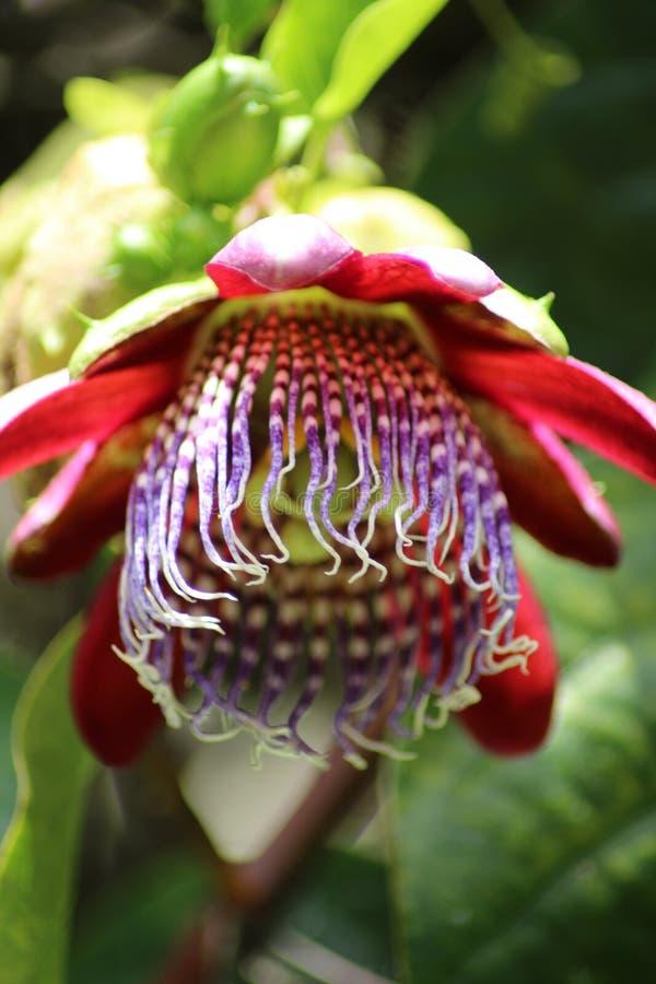 Makro- passionflower od Azores zdjęcia stock