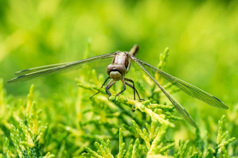 Makro- piękna młoda ogoniasta cedzakowa Orthetrum cancellatum kobieta Ten dragonfly fotografia stock