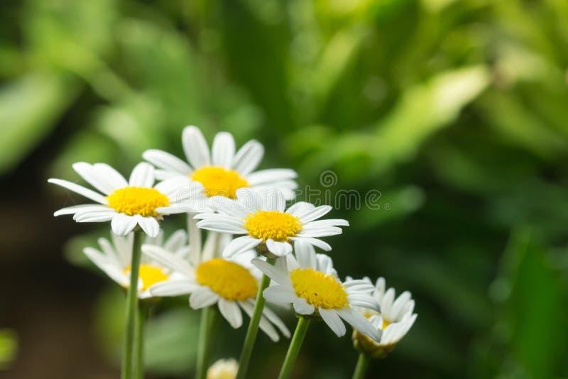 Makro- piękne białe stokrotki kwitnie w ogródzie dla tekstura półdupków zdjęcie royalty free