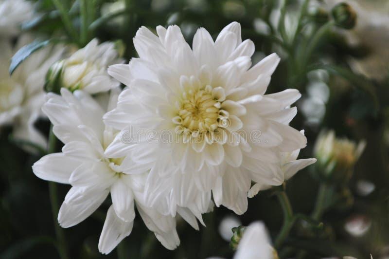 Makro- piękni mali kwiaty Śródpolna Biała chryzantema obraz stock