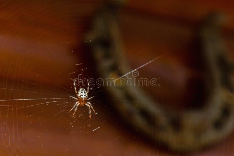 Makro podkowy i pajęczyna zdjęcia royalty free