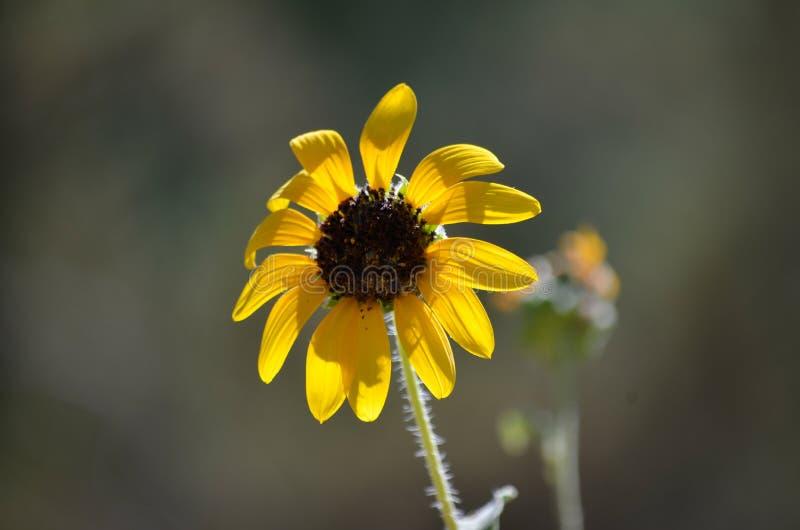 Makro- pojedynczy żółty kwiat zdjęcia stock
