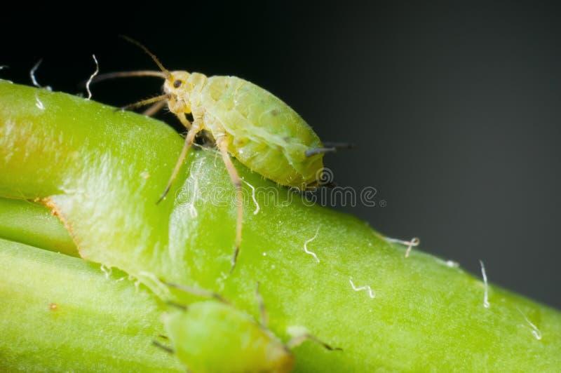 Makro- pojedynczy greenfly zdjęcie stock