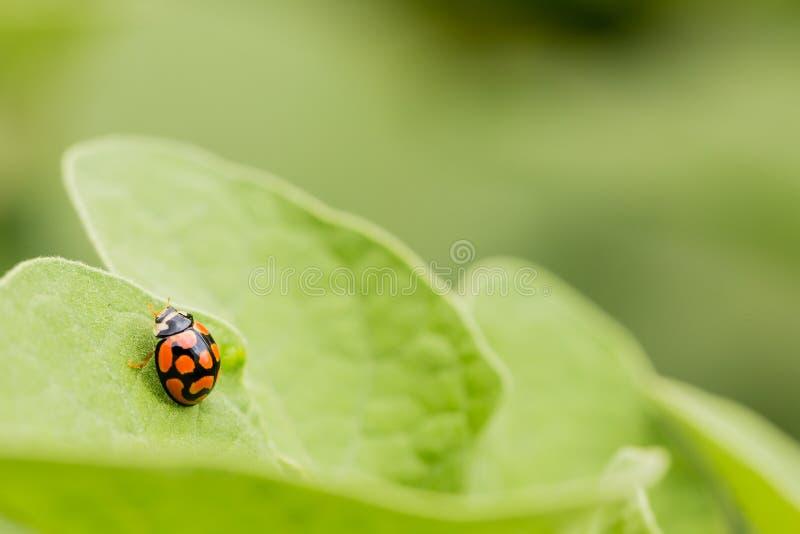 Makro- Pomarańczowa biedronka zamknięta w górę zielonego liścia dalej zdjęcia stock