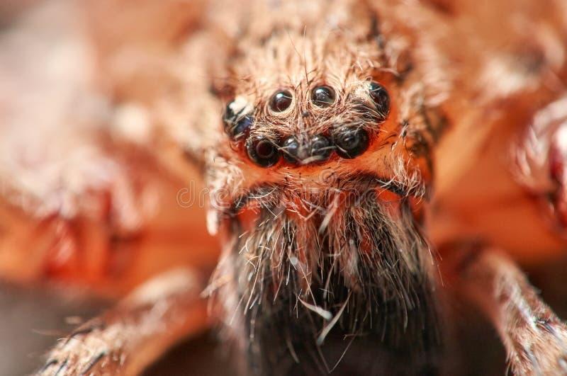 Makro- portret Domowy pająk zdjęcie stock