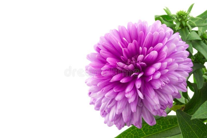 Makro- różowy aster zdjęcie stock
