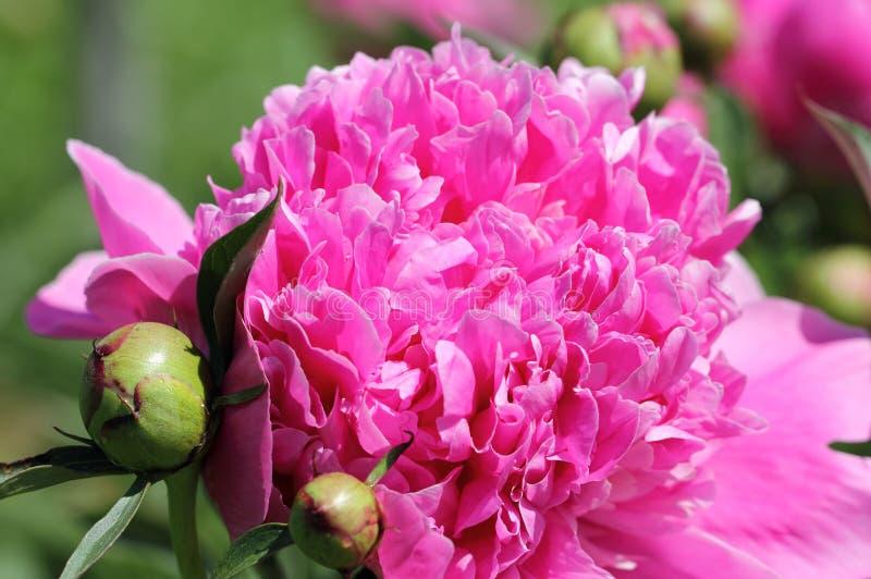 Makro- Różowy peonia kwiat obrazy royalty free