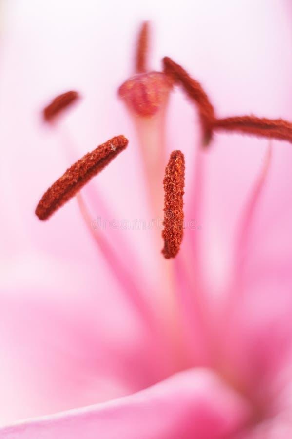 Makro rosafarbene Lilie Pistils lizenzfreies stockfoto