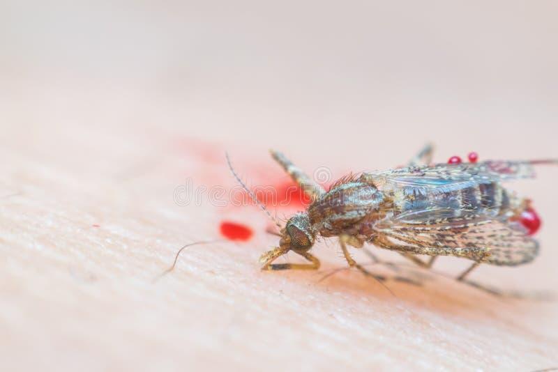 Makro- roztrzaskujący komar umierał (Aedes aegypti) fotografia royalty free
