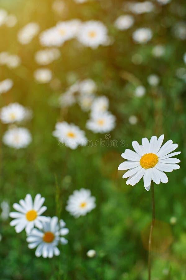 Makro- rumianku kwiat zdjęcia royalty free