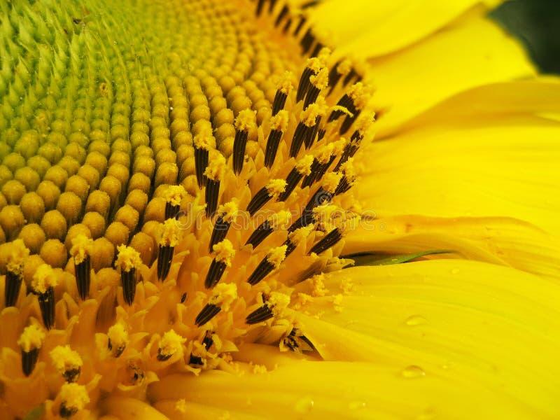 makro- słonecznik fotografia royalty free