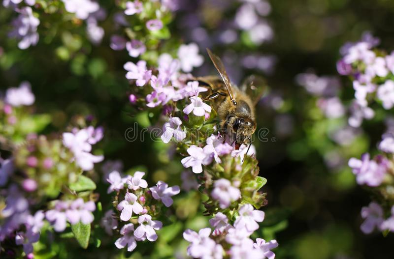 Makro si chiude su del timo di fioritura del cespuglio del timo vulgaris con l'impollinazione isolata dell'ape immagini stock