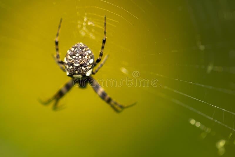 Makro som är nära upp av tropiska spindeldjurspindlar i den lösa arachnophobiaen arkivfoton