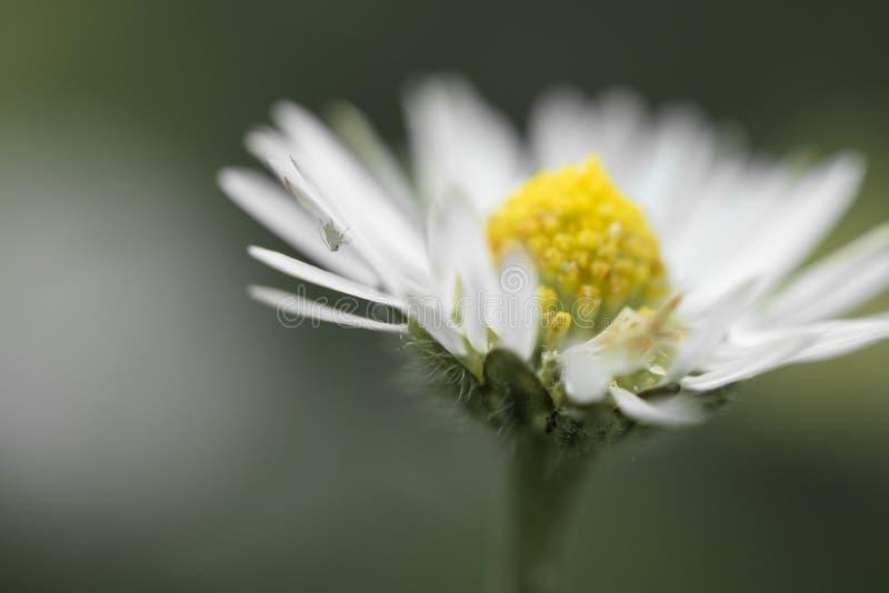 Makro som är nära upp av tusenskönahuvudblomman i isolerad suddig bakgrund, idérikt blom- vårmotiv arkivfoton