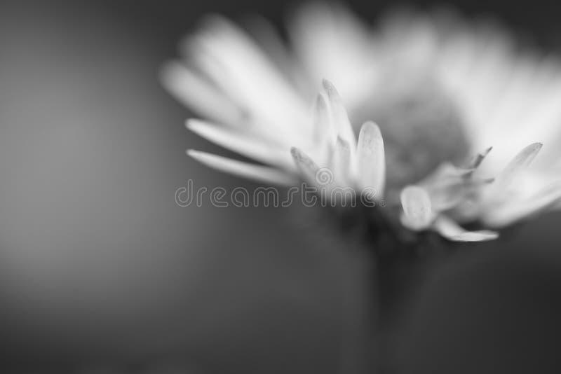Makro som är nära upp av tusenskönahuvudblomman i isolerad suddig bakgrund, idérikt blom- vårmotiv i svartvitt arkivbilder