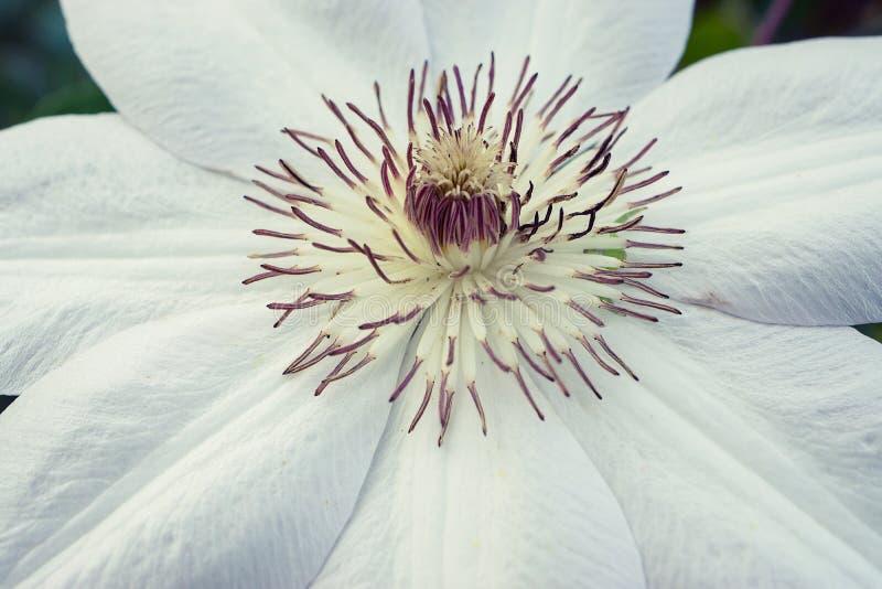 Makro som skjutas av den vita blomman arkivbilder