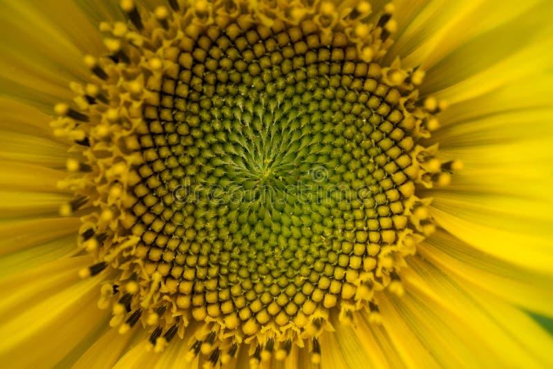 Makro som skjutas av en härlig solros arkivfoto