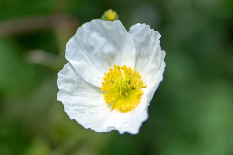 Makro som skjutas av en vit blomma på en naturlig bakgrund i en mjuk fokus fotografering för bildbyråer