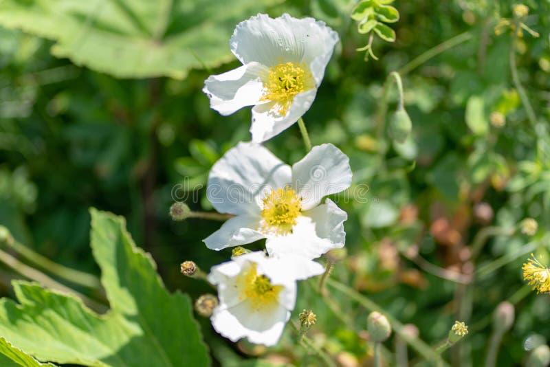 Makro som skjutas av en vit blomma på en naturlig bakgrund i en mjuk fokus royaltyfri foto