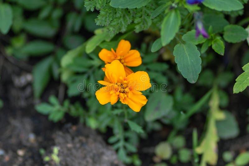 Makro som skjutas av orange blommor i en mjuk fokus royaltyfri bild