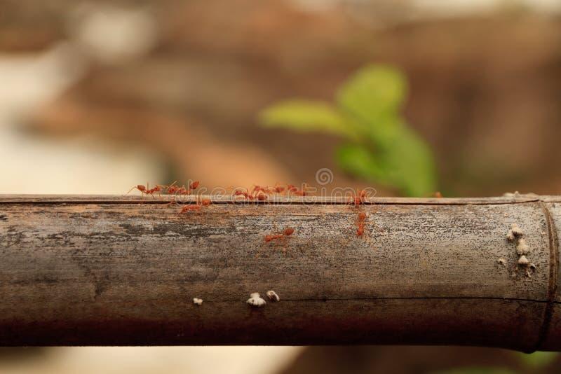 Makro som skjutas av röd myra i natur Den röda myran är mycket liten Fritt avstånd för text royaltyfri fotografi