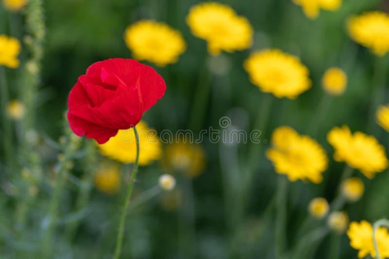 Makro som skjutas av röda blommor mot bakgrunden av gräs i mjuk fokus arkivbild