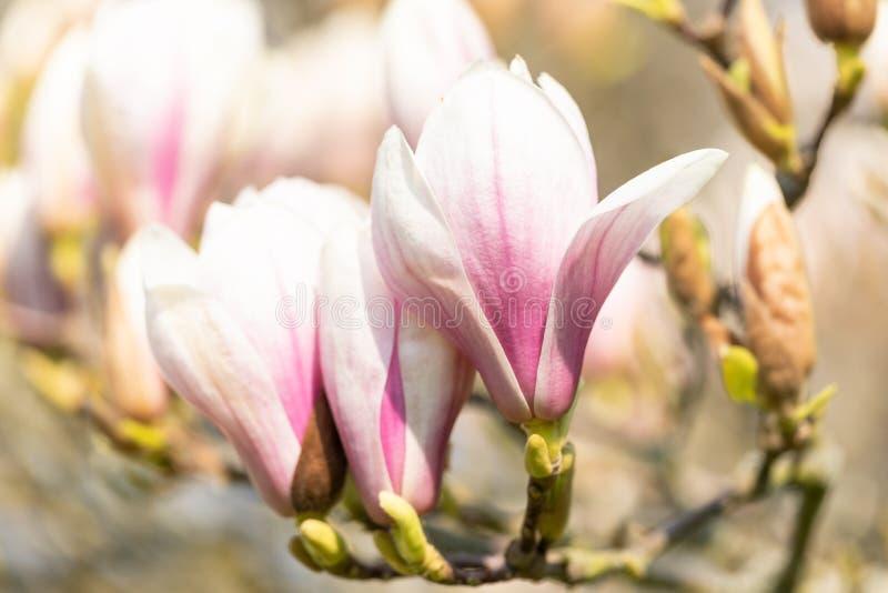 Makro- spodeczek magnolia obrazy royalty free