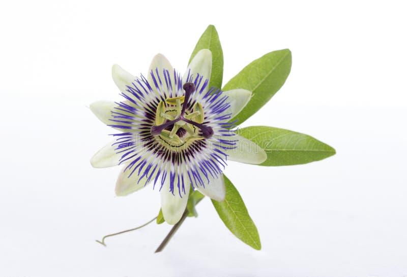 Makro- strzał błękitny pasyjny kwiatu passiflora obraz royalty free