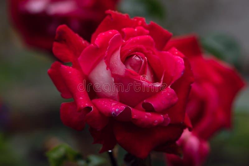 Makro- strzał czerwieni róża w miękkiej ostrości zdjęcia stock