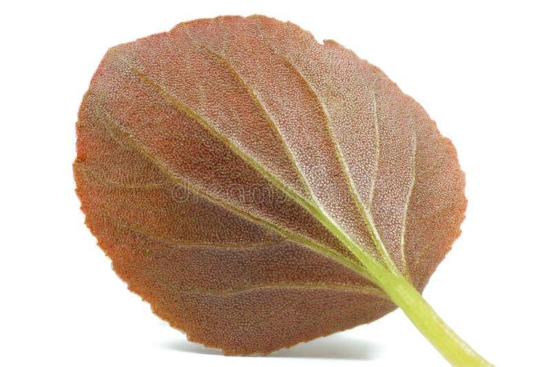 Makro- strzał czerwona liść tekstura zdjęcie stock
