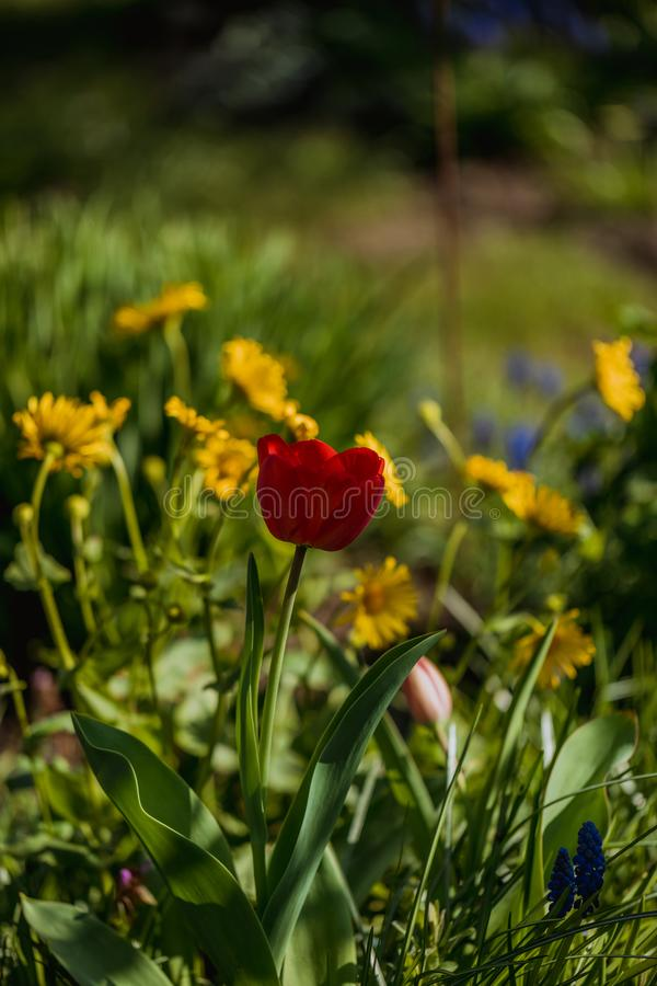 Makro- strzał czerwony tulipanowy kwiat w ogródzie obrazy royalty free
