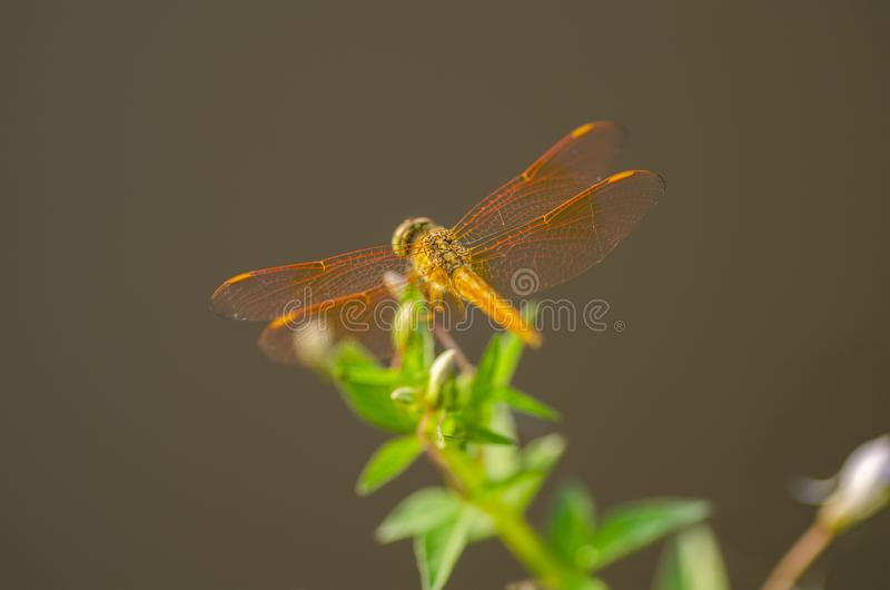 Makro- strzał, dragonfly w natury siedlisku obrazy stock